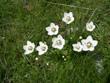 Sumpf-Herzblatt, Studentenröschen/Parnassia palustris