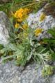 Insubrisches Greiskraut/Senecio incanus ssp. insubricus