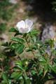 Rosa abietina