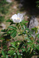 Rosier des sapins/Rosa abietina