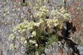 Saxifrage paniculée/Saxifraga paniculata