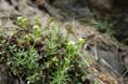 Gaillet à feuilles inégales/Galium anisophyllon