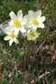Pulsatille millefeuille/Pulsatilla alpina ssp.millefoliata