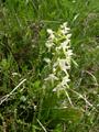 Waldhyazinthe, Weisses Breitkölbchen/Platanthera bifolia