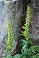 Vérate commun/Veratrum album ssp.lobelianum
