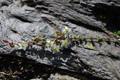 Arenaria biflora/Arenaria biflora
