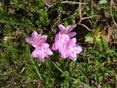 Zwergalpenrose/Rhodothamnus chamaecistus