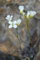 Zwerg-Gänsekresse/Arabis bellidifolia